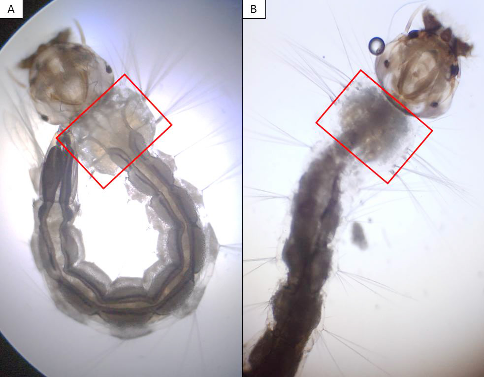 Larvas do mosquito Aedes Aegypti analisadas pela equipe que desenvolveu biodetergente; em destaque, área afetada pela ação do produto (Divulgação)