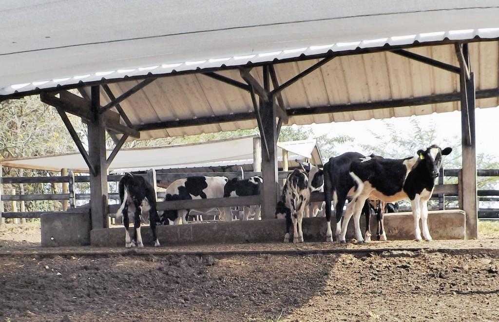 Cuidados com o gado em fazenda de Cachoeira Paulista; cidades se preparam para censo em 2018 (Foto: Arquivo Atos)