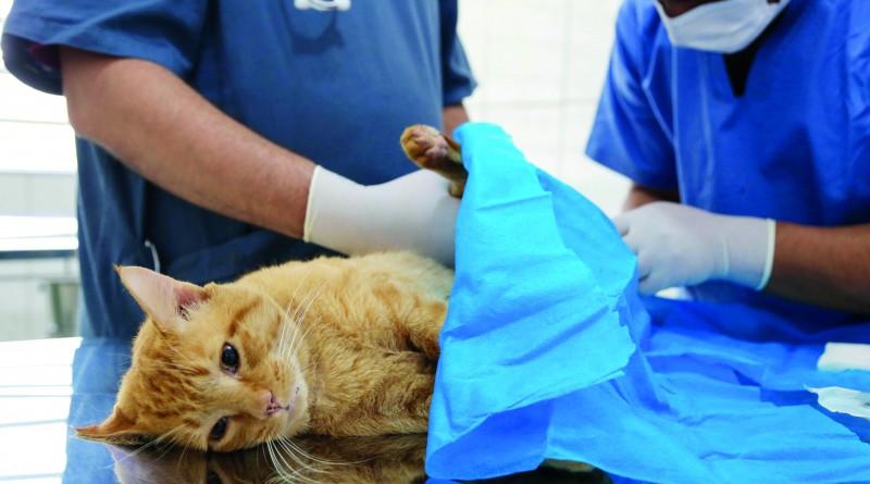 Gato passa por cirurgia de castração; Cruzeiro passa a ter novo serviço (Foto: Jefferson Chalegre)
