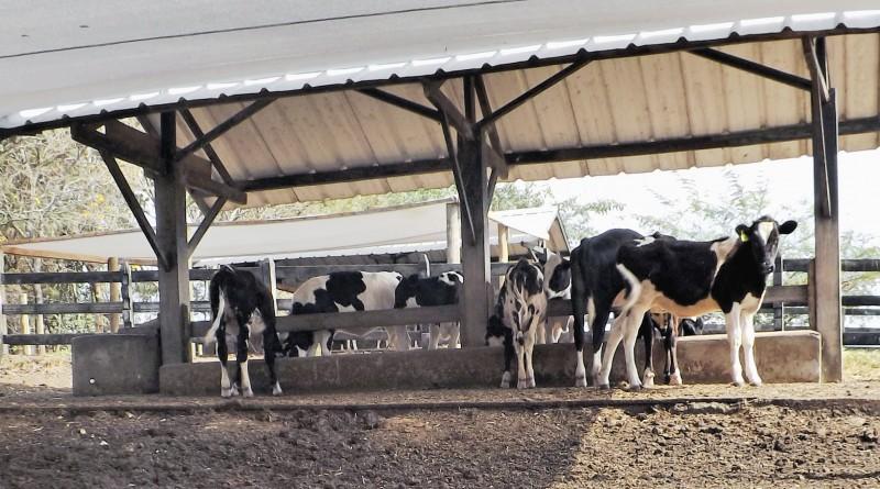Vacas e bois eram os principais alvos de quadrilha detida pela DIG (Foto: Reprodução)