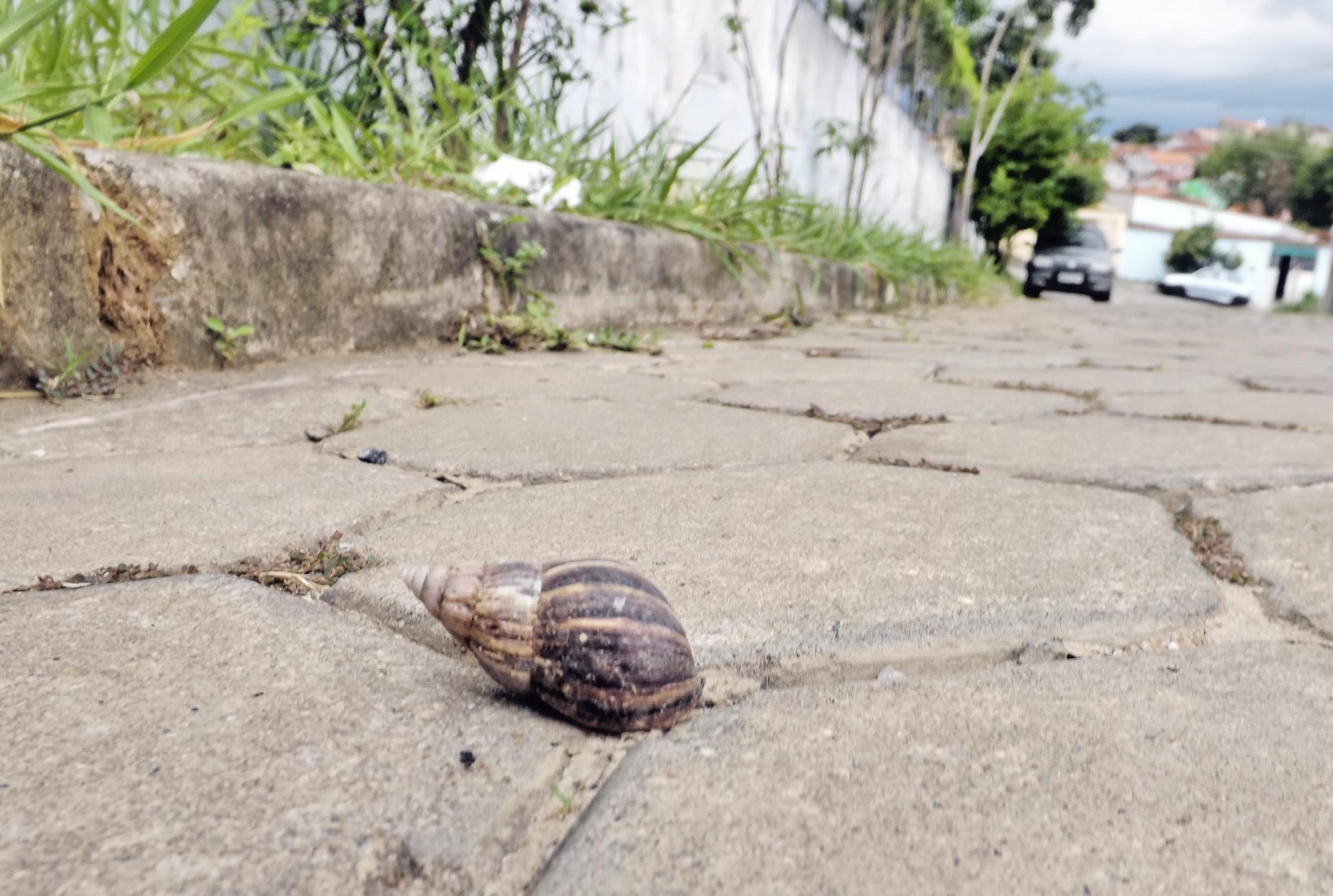 Caramujo africano encontrado em bairros de Cachoeira; com medo de doenças e infestação, moradores cobram solução da Prefeitura (Foto: Lucas Barbosa)