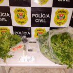 Polícia encontra plantação de maconha na zona rural no município de Guaratingueta